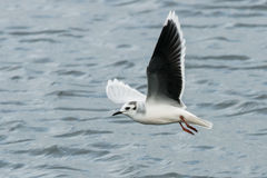 Little Gull Royalty Free Stock Photo