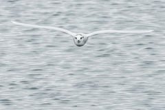 Little Gull Royalty Free Stock Images
