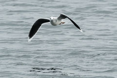 Little Gull Stock Photos