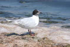 Little gull (Hydrocoloeus minutus) Royalty Free Stock Photos
