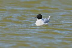 A little gull Hydrocoloeus minutus or Larus minutus Royalty Free Stock Photography