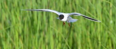 The Little Gull (Larus minutus) in flight Royalty Free Stock Photos