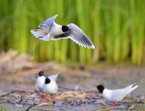 The Little Gull (Larus minutus) in flight Royalty Free Stock Photography