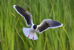 The Little Gull (Larus minutus) in flight Royalty Free Stock Images