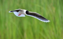 The Little Gull (Larus minutus) in flight Stock Images