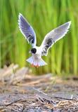 The Little Gull (Larus minutus) in flight Royalty Free Stock Image