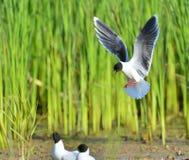The Little Gull (Larus minutus) in flight Stock Photography