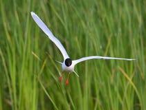 The Little Gull (Larus minutus) in flight Stock Photo