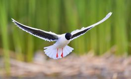 The Little Gull (Larus minutus) in flight on the green grass background. Front Royalty Free Stock Photo
