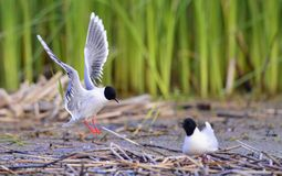 The Little Gull (Larus minutus) Stock Images