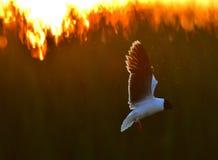 The Little Gull (Larus minutus) Royalty Free Stock Photo
