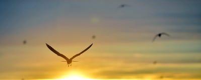 The Little Gull (Larus minutus) Stock Photo