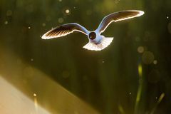 The Little Gull (Larus minutus) in flight on sunset natural background Royalty Free Stock Photography