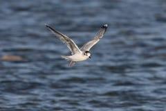 Little gull, Larus minutus Royalty Free Stock Image