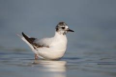Little gull, Larus minutus Stock Photo