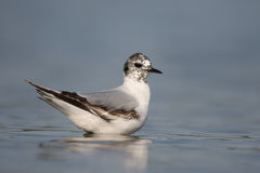 Little gull, Larus minutus. Single bird in water, Romania, May 2015 Stock Images
