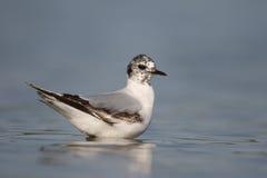 Little gull, Larus minutus Stock Images