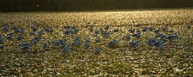 Little gulls on Danube delta sunset stock images