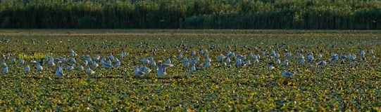 Little gulls on field of water chestnuts in Danube delta. A colony of little gulls on a field of water chestnuts on the Danube river delta in Romania royalty free stock images