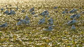 Little gulls on field of water chestnuts in Danube delta. A colony of little gulls on a field of water chestnuts in Danube river delta in Romania royalty free stock photo