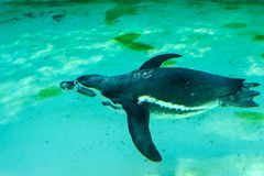 The little gumboldt penguin floats alone royalty free stock image