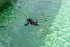 The little gumboldt penguin floats alone stock images