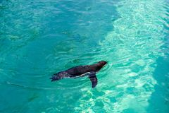 The little gumboldt penguin floats alone stock photography