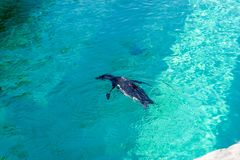 The little gumboldt penguin floats alone royalty free stock photography