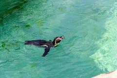 The little gumboldt penguin floats alone stock image