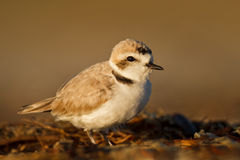 Little guy. Snowy plover searches the shoreline for an easy meal in the early light Stock Photo