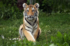 Little Guy. Siberian Tiger Cub sitting and watching his environment Stock Photos