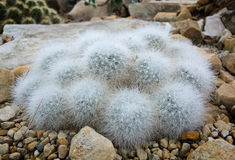 Little hairy ball shaped cactus Stock Image