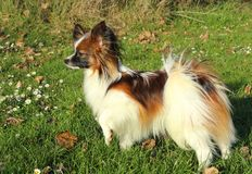 A little hairy dog stands on green grass with daisy flowers and leafes at sunset. The dog looks like smart and his fur has white, rusty and black long hairs Stock Photo