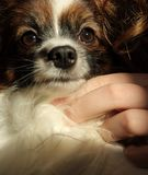 A little hairy and furry dog with clever look has a big brown eyes, a white nose muzzle with dark spot and a white spot od his f. Orehead. He is concentrated and Stock Photography