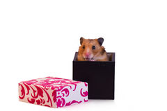 Little hamster. Sitting inside a box Royalty Free Stock Image