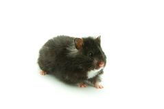 Little hamster Royalty Free Stock Photo