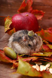 Little hamster in autumn scenery Royalty Free Stock Photography
