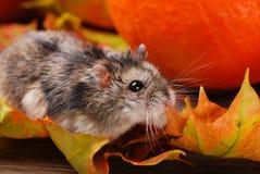Little hamster in autumn scenery Stock Photo