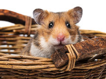 Little hamster in a basket Stock Photo