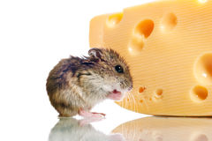 Little hamster with cheese Royalty Free Stock Photos