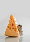 Little hamster with cheese Royalty Free Stock Images