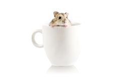 Little hamster going out  a  cup isolated on white Royalty Free Stock Image