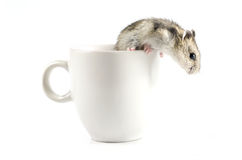 Little hamster  going out  a white cup Stock Images