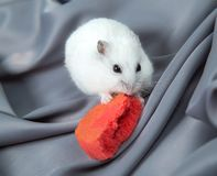 Little hamster on a gray background with a large biscuits. Little hamster on a gray background with a large red dietary biscuits stock photos