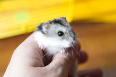 Little hamster in the hand Stock Images