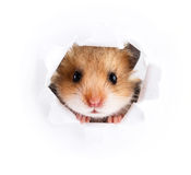 Little hamster looking up in cardboard. Side torn hole Royalty Free Stock Image