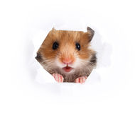 Little hamster looking up in cardboard. Side torn hole Stock Photo