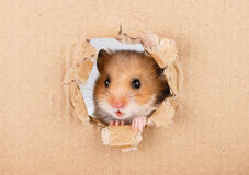 Little hamster looking up in cardboard. Side torn hole Royalty Free Stock Photography