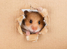 Little hamster looking up in cardboard. Side torn hole Stock Photos