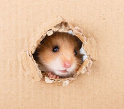 Little hamster looking up in cardboard. Side torn hole Stock Photography